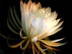 the beautiful Brahma Kamal blooming in the dark